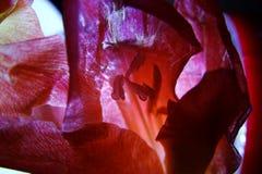 Makro der Gladioleblume lizenzfreies stockbild