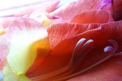 Makro der Gladioleblume lizenzfreie stockfotografie