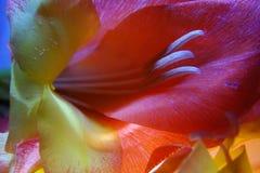 Makro der Gladioleblume stockfotos