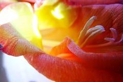 Makro der Gladioleblume lizenzfreie stockbilder