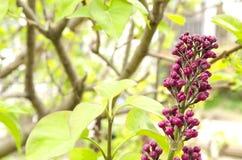 Makro der jungen lila Niederlassung mit den Knospen im Frühjahr auf einem Hintergrund des grünen Grases Lizenzfreies Stockfoto