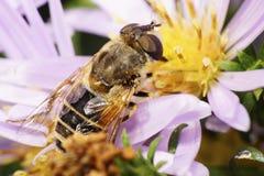 Makro der kaukasischen Blume fliegt auf Aster Stockfoto