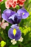 Makro der Lavendel-blauen blühenden Iris Stockfotos