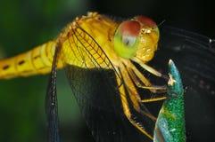 Makro der Libelle Stockfoto