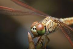 Makro der Libelle Lizenzfreies Stockfoto