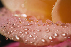 Makro der nassen rosafarbenen Blumenblätter Stockfoto
