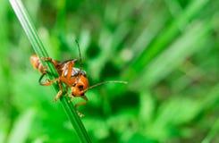 Makro der orange schwarzen Wanze, die zur Kamera schaut stockbild