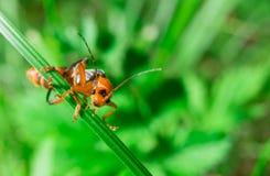 Makro der orange schwarzen Wanze, die zur Kamera schaut stockfotografie