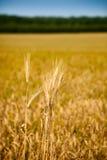 Makro der reifen Ohren des trockenen Getreides Stockbilder
