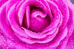 Makro der Rosarose mit Wassertropfen Stockbilder