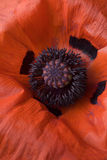 Makro der roten Mohnblume Stockbild