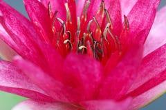 Makro der schönen roten Lotosblüte, Thailand stockbilder