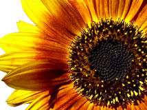 Makro der Sonnenblume Stockfoto