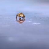 Makro der springenden Spinne Stockfoto