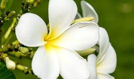 Makro der wirklichen Natur Plumeriablume botanisch lizenzfreies stockfoto