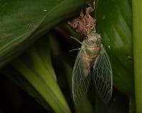 Makro der Zikade und des Shells auf der Unterseite des grünen Blattes Stockfotos
