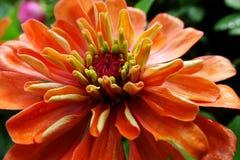Makro der Zinnia-Blume lizenzfreie stockfotografie