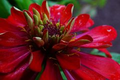 Makro der Zinnia-Blume stockfoto