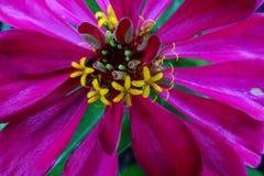 Makro der Zinnia-Blume stockfotografie