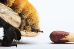 Makro des Bienenstichs stockbild