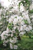Makro des blühenden Apfelbaums Stockbilder
