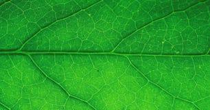 Makro des grünen Blattes Lizenzfreie Stockfotos