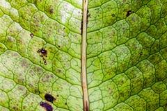 Makro des grünen Blattes, Beschaffenheit für Hintergrund Lizenzfreies Stockbild