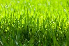 Makro des grünen Grases Lizenzfreies Stockfoto