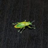 Makro des grünen Rüsselkäfers Lizenzfreies Stockfoto