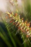 Makro des Gras-Startwertes für Zufallsgenerator Stockfoto