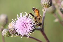 Makro des Insekts Lizenzfreies Stockbild