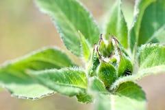 Makro des jungen Sonnenblumedetails Stockbilder