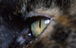 Makro des Katzenaugenabschlusses oben mit selektiver Nahaufnahme Stockbilder