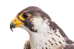 Makro des Kopfes des Falkeprofils lokalisiert auf Weiß stockbild