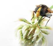 Makro des Kopfes einer Wespe auf einer Blume Lizenzfreies Stockfoto