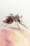 Makro des Moskitos (Aedes aegypti) Blut saugend Lizenzfreie Stockfotos