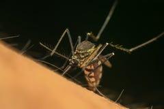 Makro des Moskitos (Aedes aegypti) Blut saugend Lizenzfreies Stockfoto