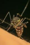 Makro des Moskitos (Aedes aegypti) Blut saugend Lizenzfreies Stockbild