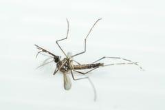 Makro des Moskitos (Aedes aegypti), lokalisiert auf weißem backgroun Lizenzfreie Stockbilder