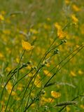 Makro des niedrigen Winkels der hellen gelben Butterblume blüht - Ranunculus bulbosus Lizenzfreie Stockfotos