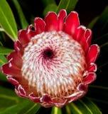 Makro des roten Protea Lizenzfreie Stockbilder