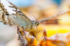 Makro des Schmetterlinges einziehend in Garten Lizenzfreies Stockbild