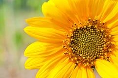 Makro des Sonnenblume-Details Lizenzfreies Stockbild