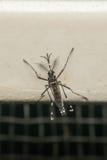Makro des Trägers des Moskitos (Aedes aegypti) des Virus Lizenzfreie Stockbilder