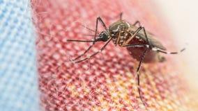 Makro des Trägers des Moskitos (Aedes aegypti) des Virus Lizenzfreies Stockbild
