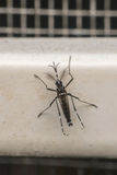 Makro des Trägers des Moskitos (Aedes aegypti) des Virus Lizenzfreies Stockfoto