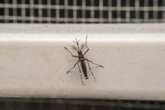 Makro des Trägers des Moskitos (Aedes aegypti) des Virus Stockbild