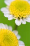 Makro des weißen Gänseblümchens Lizenzfreie Stockbilder