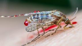 Makro des zertrümmerten Moskitos (Aedes aegypti) zu starb Lizenzfreies Stockbild