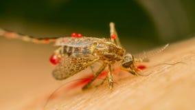 Makro des zertrümmerten Moskitos (Aedes aegypti) zu starb Lizenzfreie Stockbilder